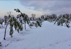 Danni da neve, Coldiretti Cuneo: 'Castagneti e noccioleti in ginocchio in tutta la Granda'