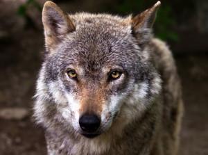 'LIFE WolfAlps EU' ha trovato il suo 'project manager': è una dottoressa tra i massimi esperti di lupo in Italia