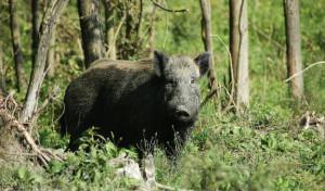 La Provincia procede al pagamento dei danni da fauna selvatica alle azienda agricole