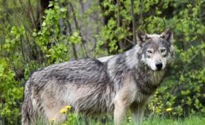 Il vicepresidente Carosso scrive al Ministro per segnalare il problema della presenza del lupo in Piemonte