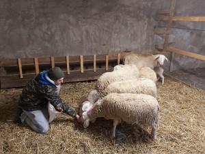 A vent'anni apre un allevamento di pecore sambucane: la scelta 'controcorrente' di Enrico Fabiano