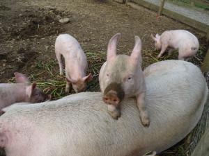 Farmaci sulfamidici nei maiali, condannati due allevatori di Fossano
