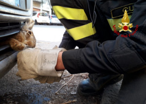 Una lepre resta incastrata in un'auto, salvata dai Vigili del Fuoco