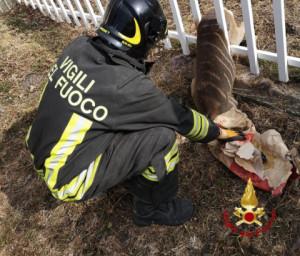 Capriolo incastrato in una recinzione a Crissolo, liberato dai Vigili del Fuoco
