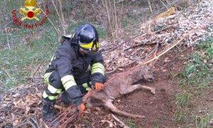 Boves, i pompieri liberano un capriolo intrappolato in una rete