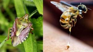 Cimice Asiatica, l'arrivo della vespa samurai potrà contribuire a salvare i raccolti piemontesi