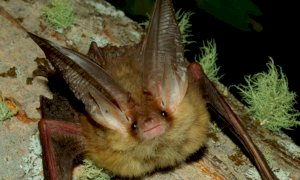 Coronavirus e pipistrelli: c'è una relazione tra la loro presenza e il rischio di trasmissione?