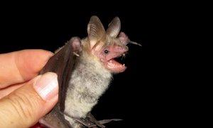 A inizio aprile un migliaio di 'pipistrelle' tornano all'Abbazia di Staffarda per partorire i piccoli