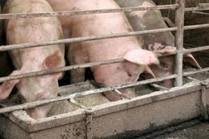 Nuove disposizioni in materia di allevamenti intensivi di pollame o di suini