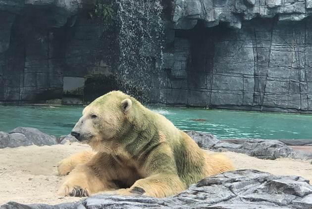 忍痛說再見,全球唯一熱帶出生的北極熊走了