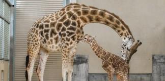 Hogle Zoo Welcomes Baby Giraffe