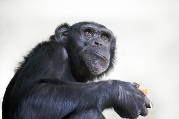 Common Ancestor Of Chimpanzees