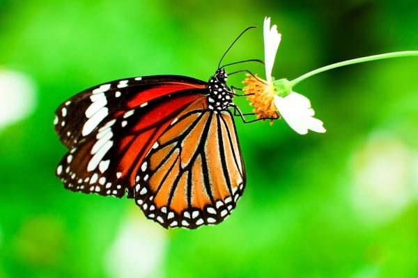 Dearth-of-milkweed-not-the-monarch-butterflys-main-threat