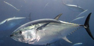 Pollutants-in-fish-diminish-human-defenses-against-toxins-study-says
