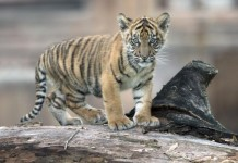 USDA-cracks-down-on-roadside-zoos-that-use-lion-tiger-cubs
