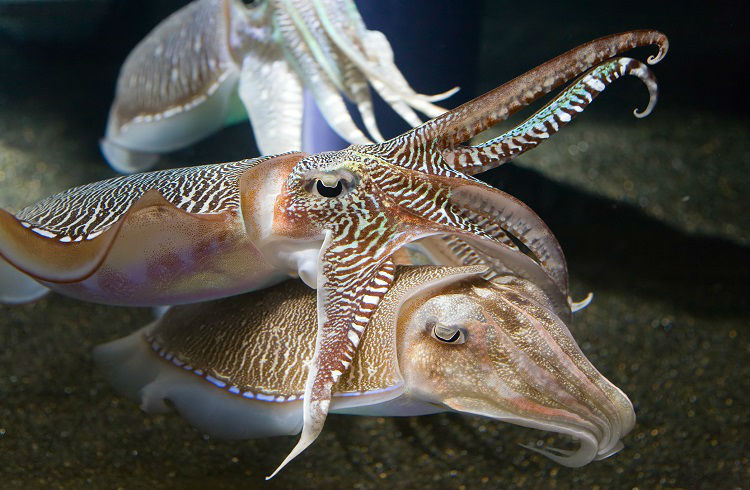Cuttlefish Cuddling