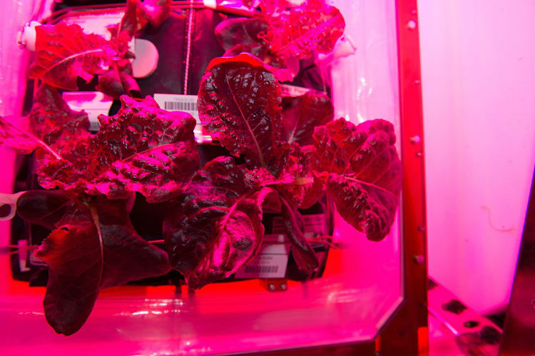 Lettuce on the ISS