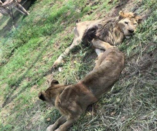 狮子瘦得皮包骨 动物园挨批