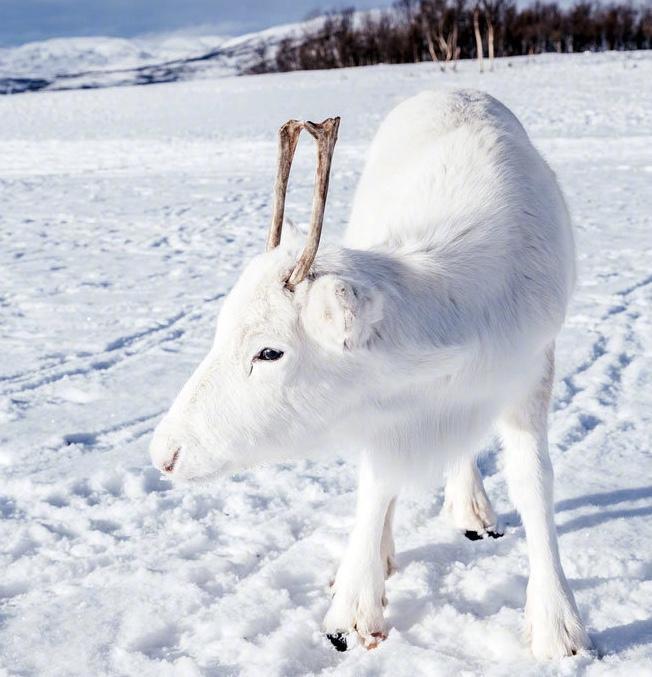 """根本是童话世界的神兽!挪威超罕有圣诞""""纯白小驯鹿"""",白到发光的毛色与雪地完美融合!"""