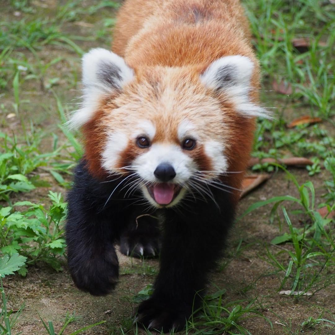 日本川崎市红熊猫,每一张照片都能变成表情包,每个小动作都可爱到爆炸!