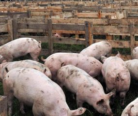 Panorama del sector porcino nacional:  el vaso medio lleno y medio vacío
