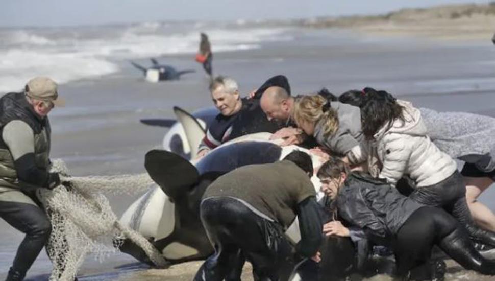 Rescataron a seis de las siete orcas  varadas en la costa de Mar Chiquita