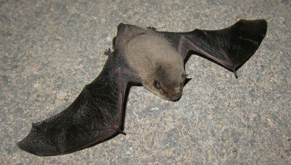 Murciélago con rabia, caído en el piso.