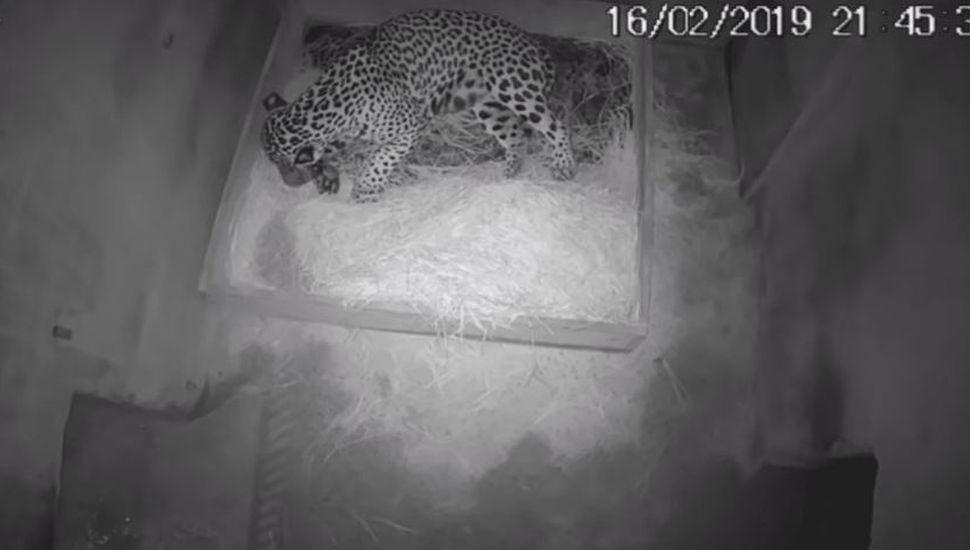 Nació el primer jaguar por inseminación artificial, pero se lo comió su madre