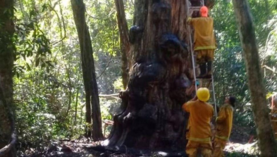 Hizo una fogata para tomar mate y quemó el árbol más antiguo de Misiones