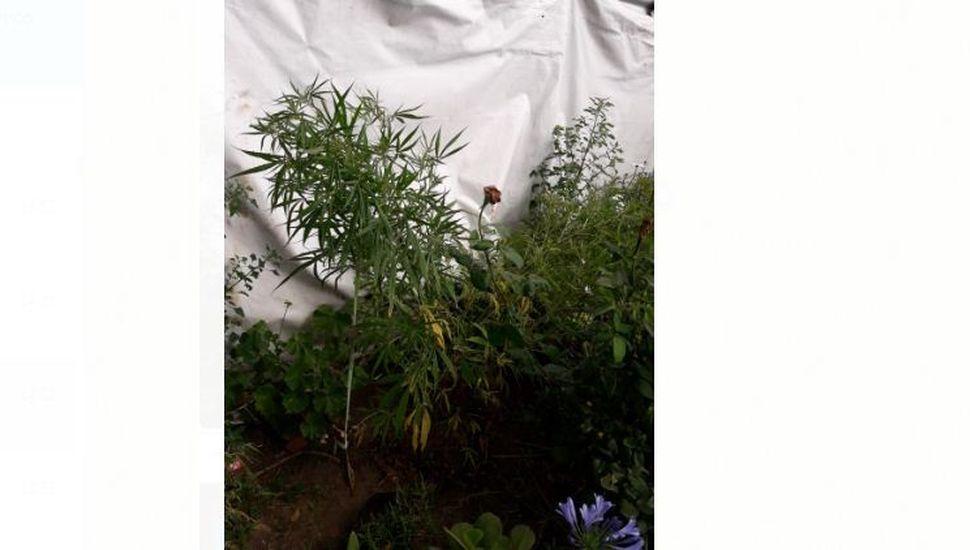 Lincoln: secuestraron plantas de marihuana en una casa de la ciudad