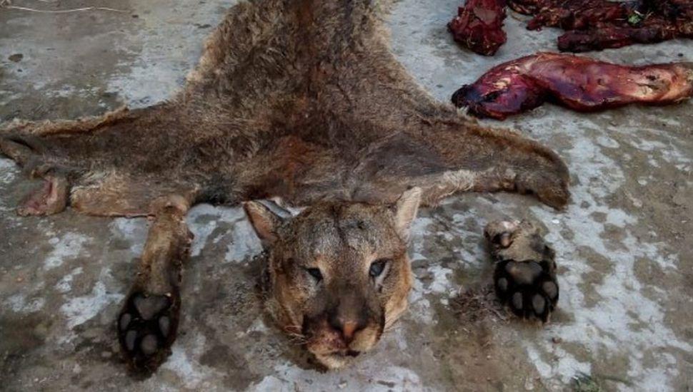 Puma faenado en Chacabuco: inician sumario al empleado municipal