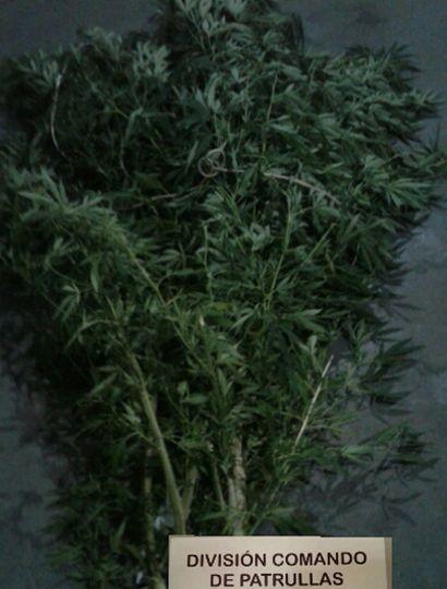 Planta de marihuana de 2,10 metros de altura secuestrada en el patio de la vivienda de calle Belgrano 1.300.