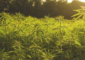 Desde Junín se está impulsando el desarrollo de la industria de cannabis