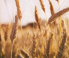 La superficie triguera se expande y crece la expectativa de una cosecha récord.