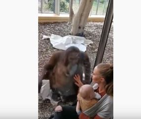 Una orangutana se acercó a una mujer mientras amamantaba y tuvo la reacción más tierna