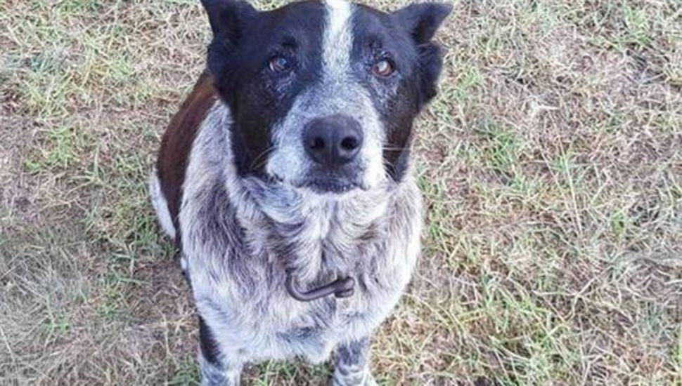 Max, el perro sordo y ciego que salvó a una nena perdida