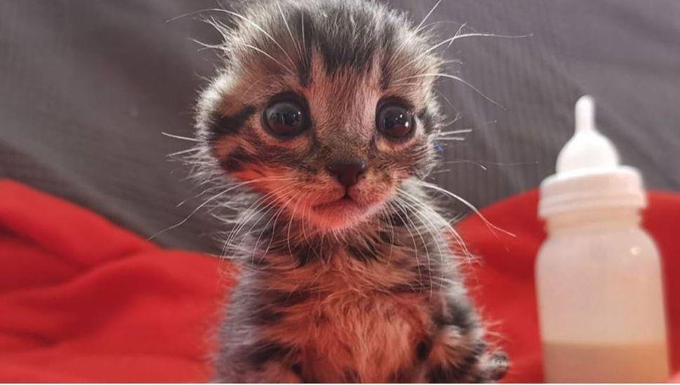 El tierno gatito sin orejas que fue rescatado de la calle