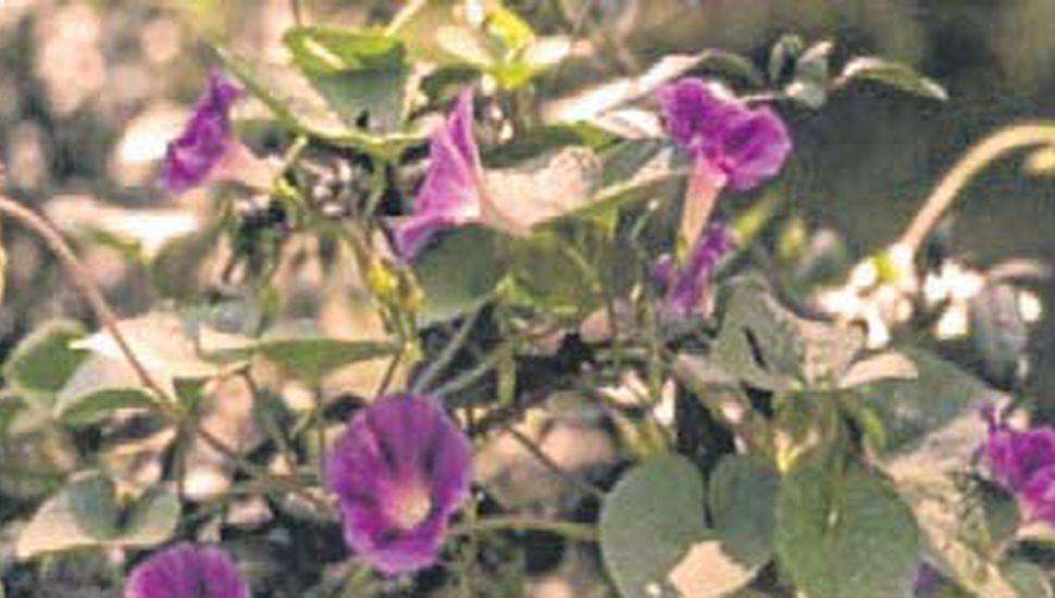 La planta Ipomoea purpurea tiene efectos benéficos para el sistema nervioso central.