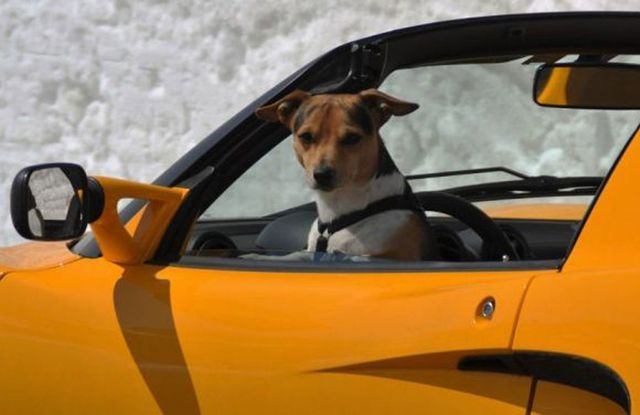 Intenta enseñar a su perro a  conducir y acaba arrestado
