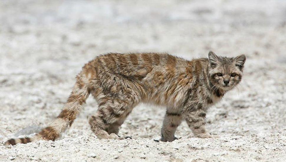 Después de 12 años hallaron al gato andino en Mendoza