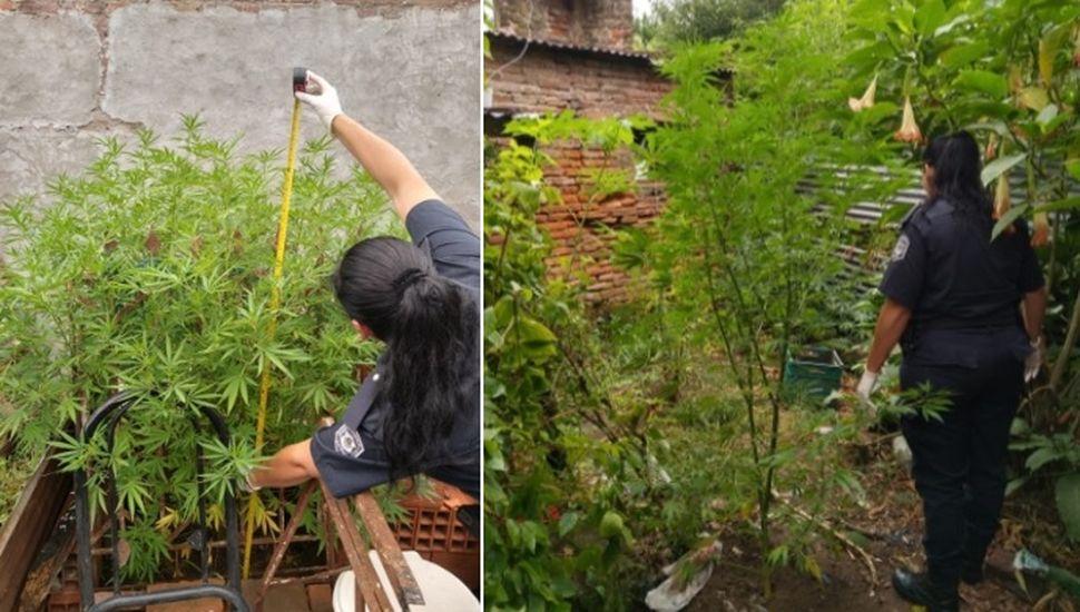 Allanamientos y secuestro de plantas de marihuana en Rojas