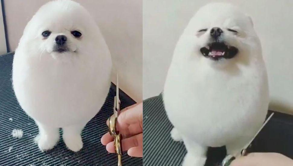 El perro que la rompe en las redes por un detalle muy especial: parece un huevo