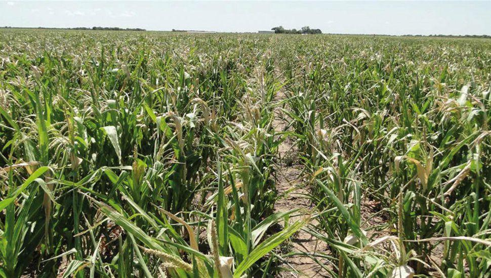 Podría llegar hasta U$S 2.800 millones la pérdida por la sequía