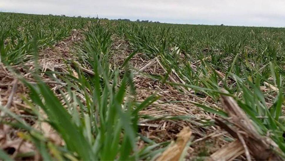 El trigo siente la falta de lluvias y crece la preocupación de los productores en la zona núcleo.