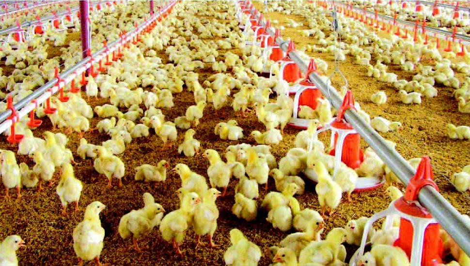 Rigurosos controles garantizan la calidad de la carne de pollo.