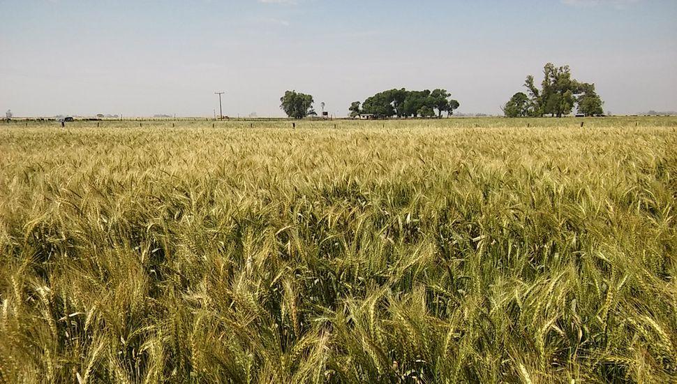 trigo clima campo