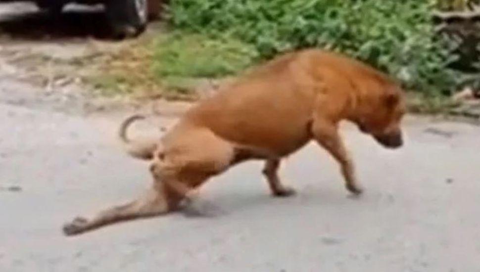 El insólito video del perro que finge tener la pata rota para que le den comida y caricias