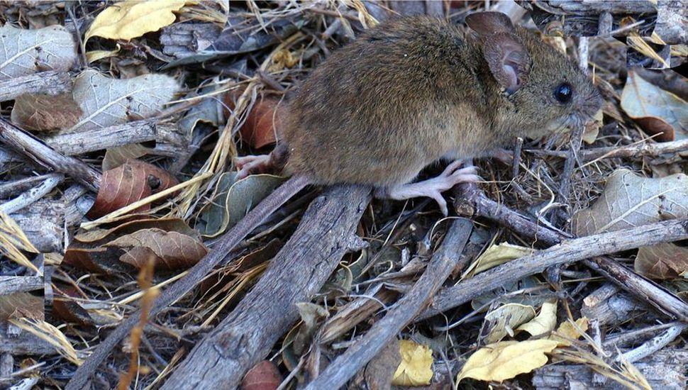 """Adjudican a la floración de la caña de colihue la  aparición de la """"ratada"""" en el lago Nahuel Huapi"""