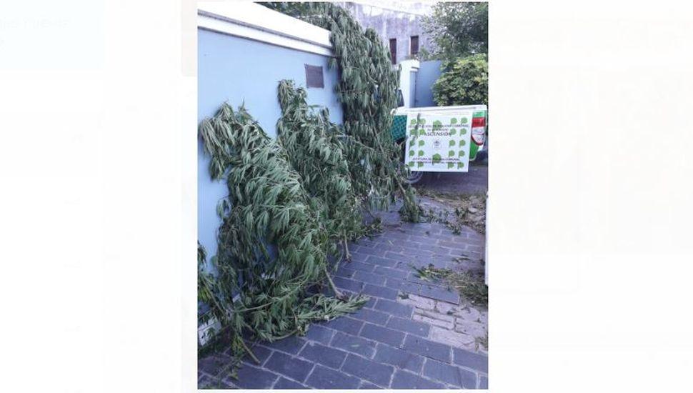 Ascensión: secuestraron cinco plantas de marihuana en la casa de un joven de 19 años