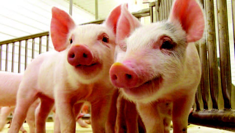 La falta de rentabilidad se agudizó en el sector porcino.